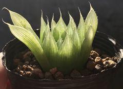 H. bolusii 'blackbeardiana' (Tsomo T. Dold sn, ex Sheilam Nursery)