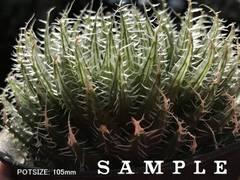 【SPECIMEN/SAMPLE(clone)】H. kemari (Meerlust, near Jansenville)
