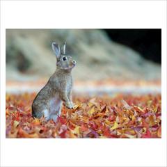 ポストカード単品 「ノウサギ 04」 2012
