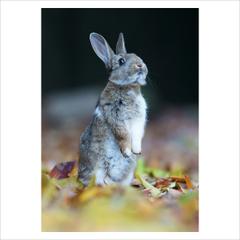 ポストカード単品 「ノウサギ 01」 2012