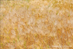 ポストカード 麦畑