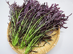 コーラルリーフ(からし菜)