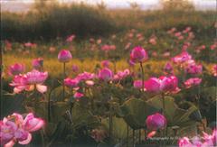 ポストカード ハスの花