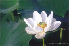 ポストカード ハスの花(白)