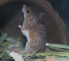 アフリカチビネズミ(ノーマル)/男の子