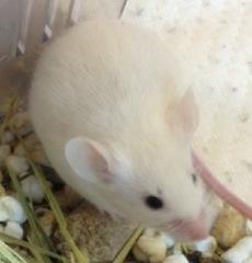 ファンシーマウス(黒目ホワイト)/女の子