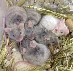 ロングテディサテンマウス(シルバータン)/女の子 <4匹>