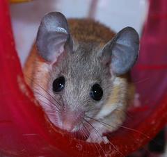 カイロトゲマウス/男の子・女の子