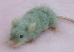 ロングテディサテンマウス(シルバータン)/男の子 <2匹>