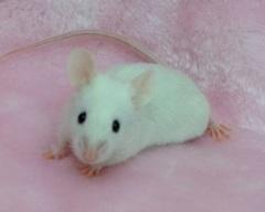 ファンシーマウス(黒目ホワイト)/男の子 <2匹>