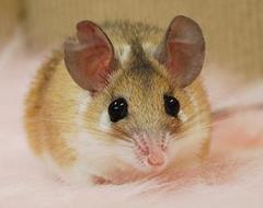 カイロトゲマウス/男の子