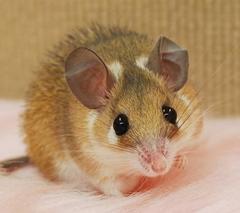カイロトゲマウス/女の子