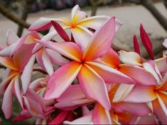 プルメリアのベアルート発根苗 'Rainbow Starburst' 栽培セット(スリット鉢・プルメリア専用培養土つき)