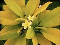 プルメリアのベアルート発根苗 'Siam Gold -Golden Lime Leaf'(大苗) 栽培セット(スリット鉢・プルメリア専用培養土つき)