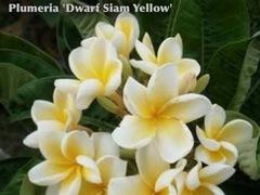 プルメリアのベアルート発根苗 'Dwarf Siam Yellow' 栽培セット(希少種・スリット鉢・プルメリア専用培養土つき・Premium品種)