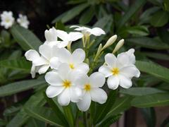 【鉢植え苗】希少種のプルメリア 'Hong Kong' (越冬株)