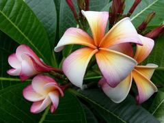 【接木苗】日本初上陸のプルメリア 'Siam Rainbow Obutusa' (輸入苗を国内で接ぎ木)