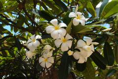 プルメリアのベアルート発根苗 'Singapore White' 栽培セット(スリット鉢・プルメリア専用培養土つき)