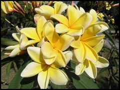【鉢植え苗】巨大輪のプルメリア 'Aztec Gold' (越冬株)