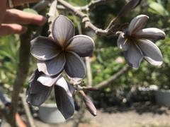 【接木苗】日本初上陸のプルメリア 'Sangium #5 Seedling Nui' (輸入苗を国内で接ぎ木)