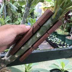 【接ぎ木が驚くほど楽になる!】 プルメリア接ぎ木専用マイターボックス