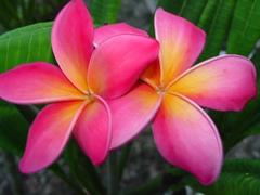 【接木苗】大輪の名花プルメリア 'Kaneohe Sunburst' (フロリダ産カット苗由来の接木苗)