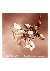<素彩画>桜絵の具で描く「桜花」 A4アートポスター
