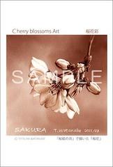 <素彩画>「桜花」 ポストカード