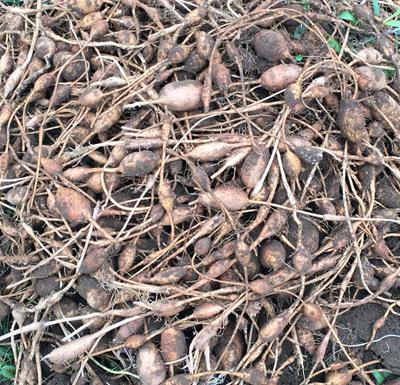 ほど芋(アピオス)未分別種芋1kg