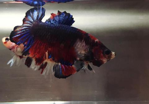 鯉ベタ(マーブル)