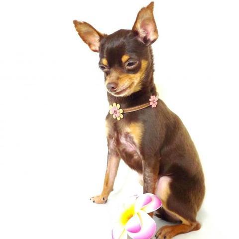 【送料無料】セレブに大人気★海辺で生まれたお花のネックレス【超小型犬】長さ20cm