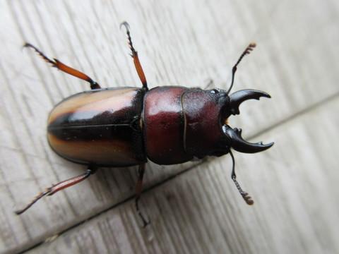 Prosopocoilus sp 新成虫ペア♂25+♀23