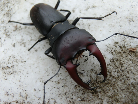 アウストラリスオオズ 初令幼虫8頭セット