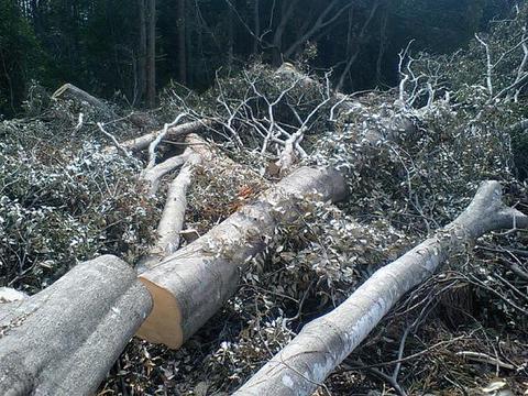 立ち木伐採体験