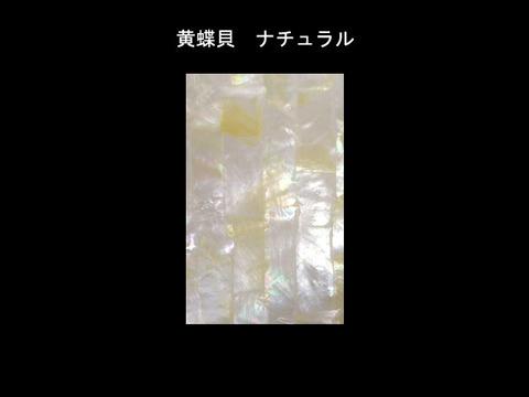 黄蝶貝 Lサイズ