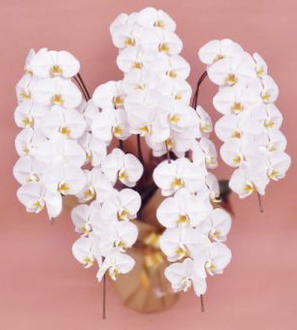 胡蝶蘭(5本立て55輪)白系