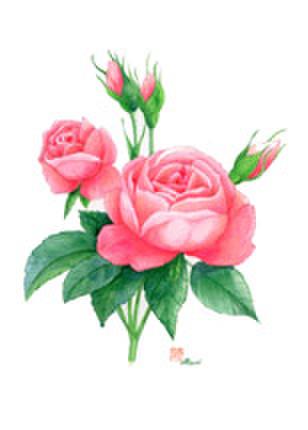 ピンク薔薇イラストはがき
