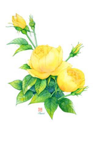 黄色薔薇イラストA4