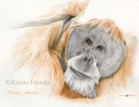 Honda Kimio Limited Edition Quality Giclee Print スマトラオランウータン