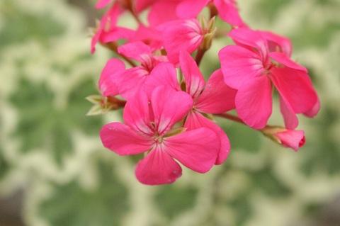 葉斑入り・ピンク