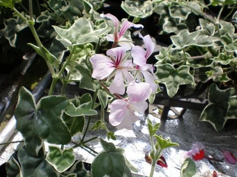斑入り葉アイビーゼラニウム・レエレガンス