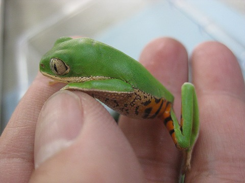 テヅカミネコメガエル