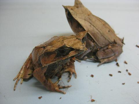 ミツヅノコノハガエル