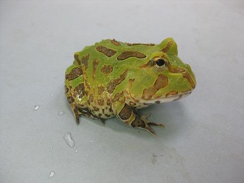 ホオコケツノガエル
