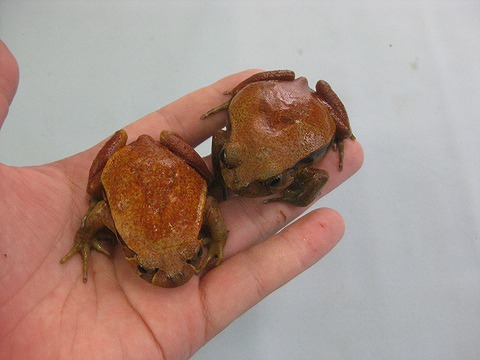 サビトマトガエル