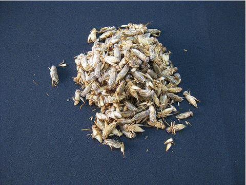 冷凍 ヨーロッパイエコオロギ 羽有りサイズ~Mサイズ MIX 【約100匹入り】 『冷凍品の為送料+216円かかります』