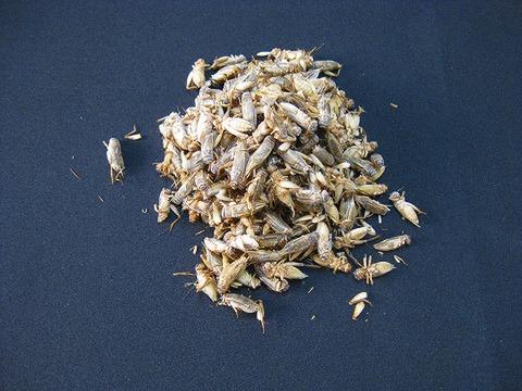 冷凍 ヨーロッパイエコオロギ 羽有りサイズ~Mサイズ MIX 【約100匹入り】 『冷凍品の為送料+210円かかります』