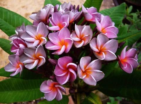 【鉢植え】プルメリア 'Violet Queen' 接木苗(越冬株・4号鉢)