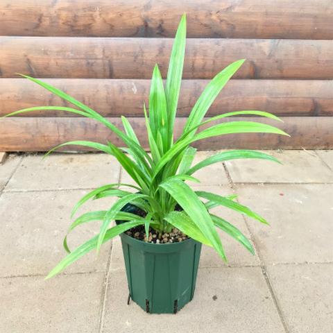 【人気の希少種】ニオイタコの木・パンダンリーフ(ハラ)Hala 5号スリット鉢 【食用にもなるタコの木】