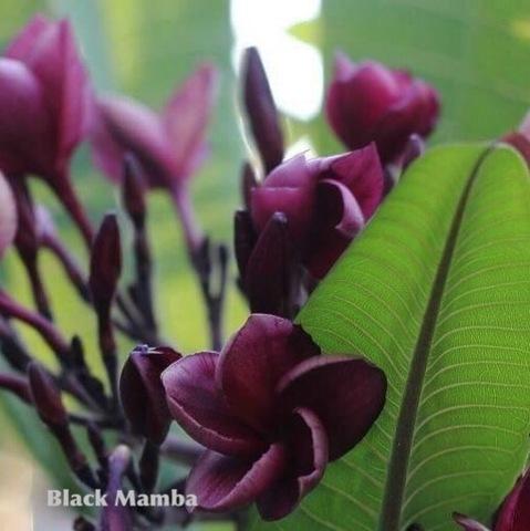 【特別SALE! 通常価格の10% OFF】1鉢限定・幻のバリ島品種のプルメリア 'Black Mamba' 4号鉢
